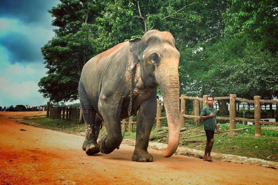 pinnawala big elephant