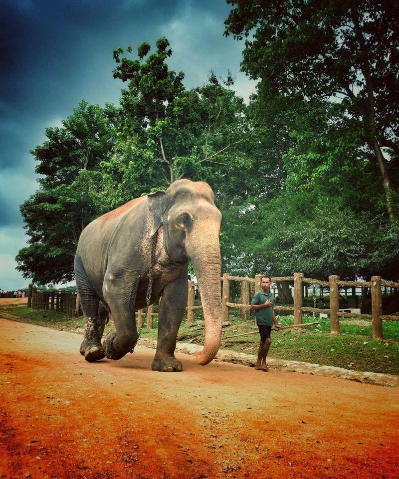 pinnawala_elephant