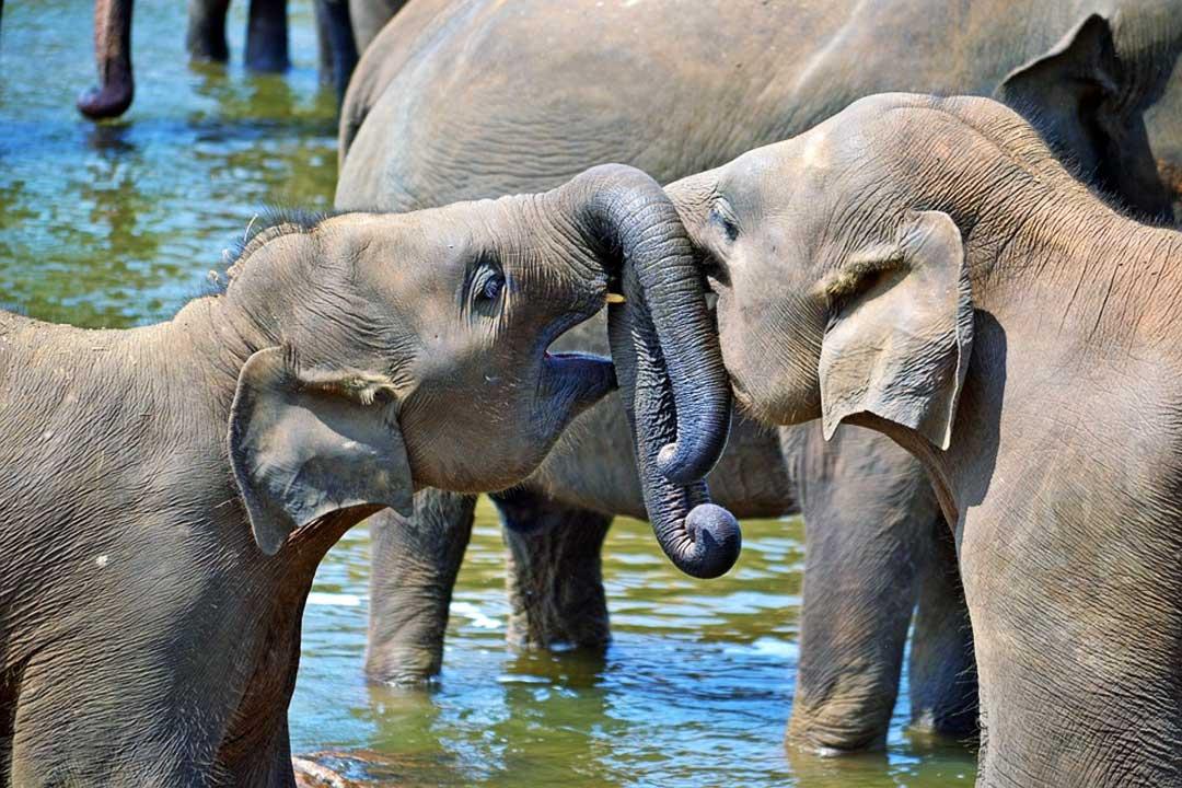 Pinnawala orphanage baby elephants
