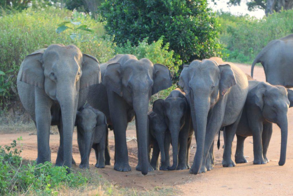 Udawalawe national park safari
