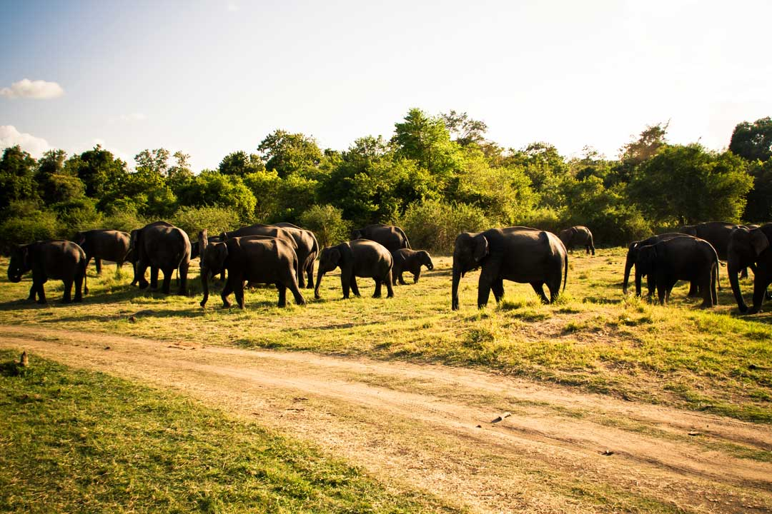 Wild-Elephants-minneriya-park